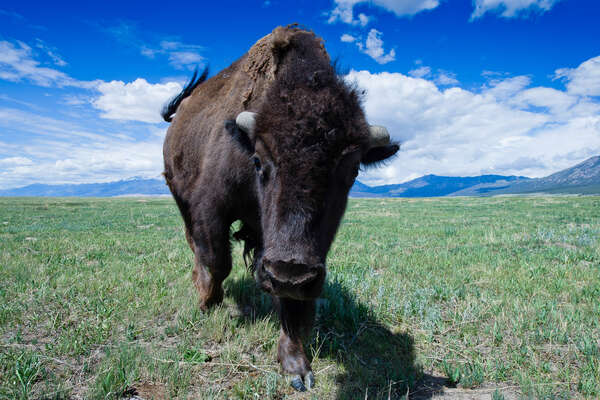 Bison dans un ranch du Colorado