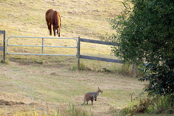 Wallaby et cheval en Australie